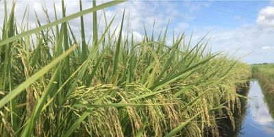 Semeadura de arroz registra 78,5% do previsto no Estado